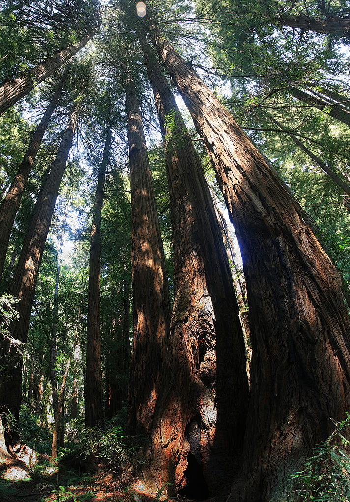 File:Redwood trees in Muir Woods National Monument, just