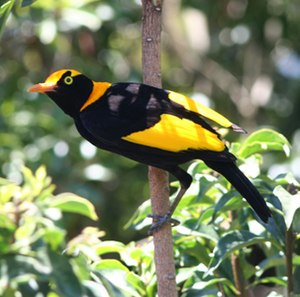 Clarke Range - The Clarke Range is home to an isolated population of the regent bowerbird