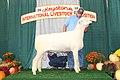 Reserve Champion Dorset Ram (31271958638).jpg