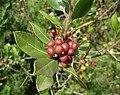 Rhamnus alaternus fruits 2.JPG