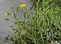 Rhipsalis salicornioides 1.jpg