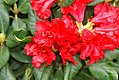 Rhododendron Baden Baden 0zz.jpg