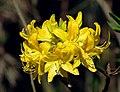Rhododendron luteum (flower).jpg