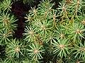 Rhododendron tomentosum Bagno zwyczajne 2018-09-02 01.jpg
