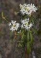 Rhododendron tomentosum D.jpg