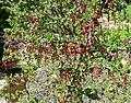 Ribes speciosum 1.jpg
