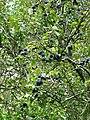 Ripe damsons near Drabblegate - geograph.org.uk - 539638.jpg