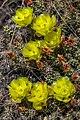 Roadside BrittlePickly-Pear Cactus (Opuntia fragillis) near Savona - (28560479001).jpg