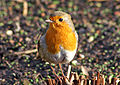 Robin (Erithacus rubecula) -front -Wales-8.jpg