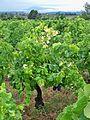 Rochefort du Gard - Vignes 8.jpg