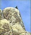 Rock Climber, Joshua Tree NP 4-13-13c (8654766593).jpg