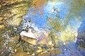 Rock in creek with crawdads crayfish yabbies cedar creek trai natural bridge state park (29949985563).jpg