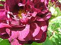Rosa 'Tuscany Superbe'2.jpg