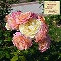 """Rosa """"Aquarell"""" o TANellqua. 01.jpg"""
