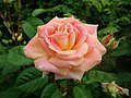 Rosa Bayreuth 2019-06-06 9397.jpg