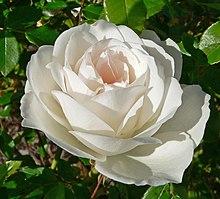 Роза 'Schneewittchen' 1. Роза 'Schneewittchen' .