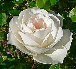 Rosa Iceberg 1.jpg