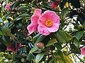 Rosales - Chaenomeles japonica - 12.jpg