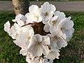 Rosales - Prunus padus - 15.jpg