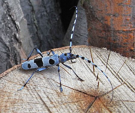 Large antennae on a longhorn beetle Rosalia alpina side.JPG