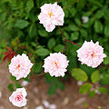 Rose, Cécile Brunner, バラ, セシル ブルンネ, (14350459463).jpg