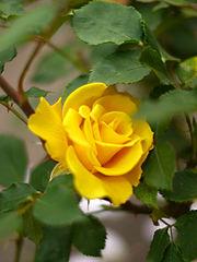 Rose, Henry Fonda, バラ, ヘンリー フォンダ, (13158190133).jpg
