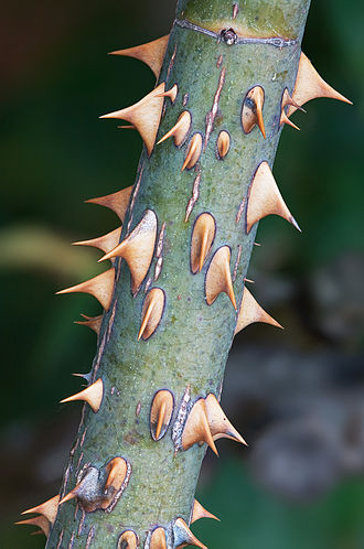 Rose - Rose thorns are actually prickles – outgrowths of the epidermis.