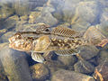 Round goby a invasive fish in a lot of countries.jpg
