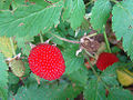 Rubus rosifolius, the Roseleaf Bramble. (11348336656).jpg