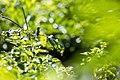 Ruby-throated hummingbird (43209762290).jpg