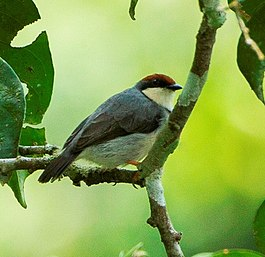 Rufous-crowned Eremomela from Canopy Walkway - Kakum NP - Ghana, crop.jpg