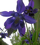 Ruhland, Grenzstr. 3, Akelei im Garten, Blüten, Frühling, 05.jpg