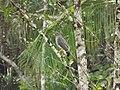 Rupornis magnirostris - Saint-Laurent-du-Maroni.jpg