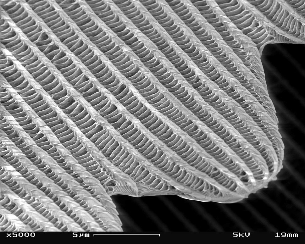 SEM image of a Peacock wing, slant view 4