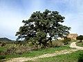 SOCARRATS DE PUIGREDON - TORA - IB-578.JPG