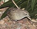 SPARROW, BOTTERI'S adult (10-21-11) 78 circulo montana, patagonia lake ranch estates, scc, az -01 (6270614503).jpg
