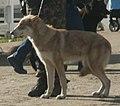 Saarloos Wolfdog brown 2.jpg