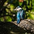 Sacred kingfisher 7th Brigade Park Chermside P1130359.jpg