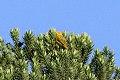 Saffron Finch (Sicalis flaveola) (8077715565).jpg