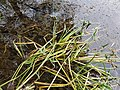 Sagittaria sagittifolia sl3.jpg