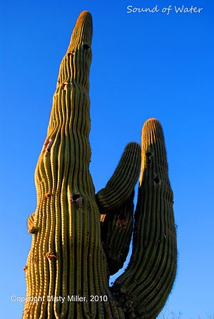 English: Saguaro Cactus