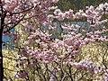 Saint Petersburg. Chinese Garden. Sakura tree2014 08.jpg