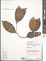 Salacia debilis-NMNH-03358371.jpg