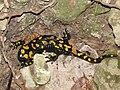 Salamander Israel.jpg