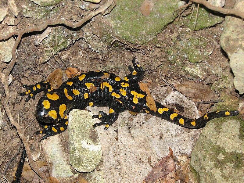 Файл:Salamander Israel.jpg