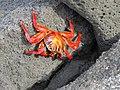 Sally Lightfoot Crab (49521361146).jpg