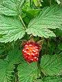 Salmonberry on Raspberry Island.JPG