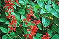 Salvia splendens (scarlet sage) 2 (49081584047).jpg