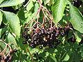 Sambucus nigra-fruit001.jpg