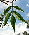 Sambucus racemosa20090612 219.jpg